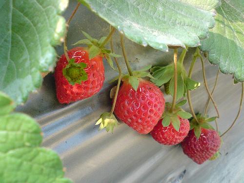 [初一] 採草莓之忘了帶相機